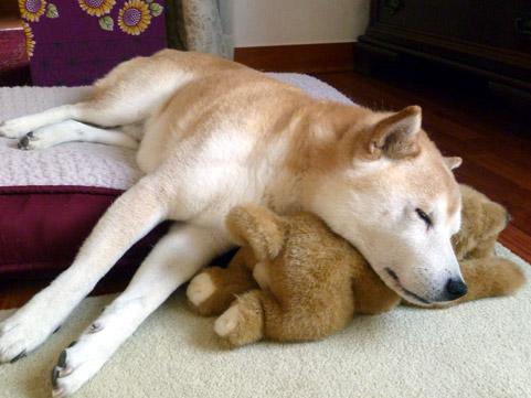 dai & stuffed shiba